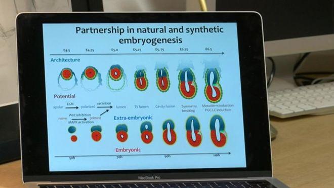 искусственный эмбрион, artificial embryo, штучний ембріон