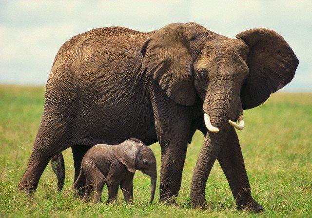 Слоны, Elephants, Слони