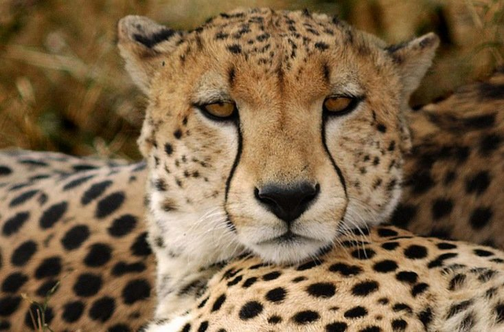 Гепарды, Cheetahs, Гепарди