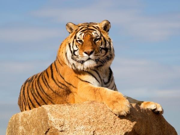индокитайские тигры, Indochinese tigers, індокитайські тигри