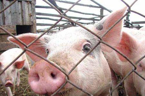 африканская чума, African swine fever, африканська чума