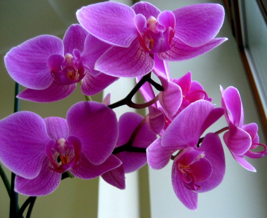Орхидеи, Orchids, Орхідеї