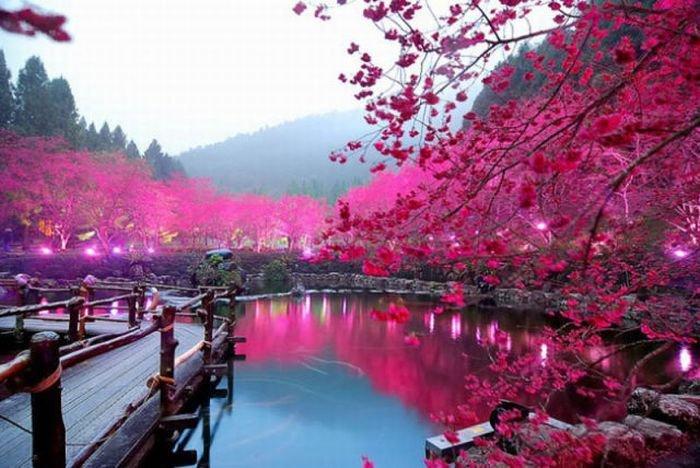 Сезон цветения сакуры, Season of cherry blossom, Сезон цвітіння сакури