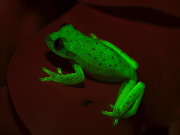 Люминесцентная жаба, Luminescent Toad, Люмінесцентна жаба
