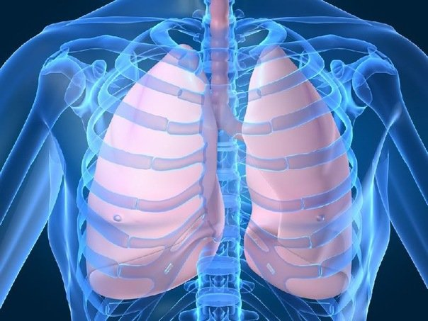 легкие, lungs, легені